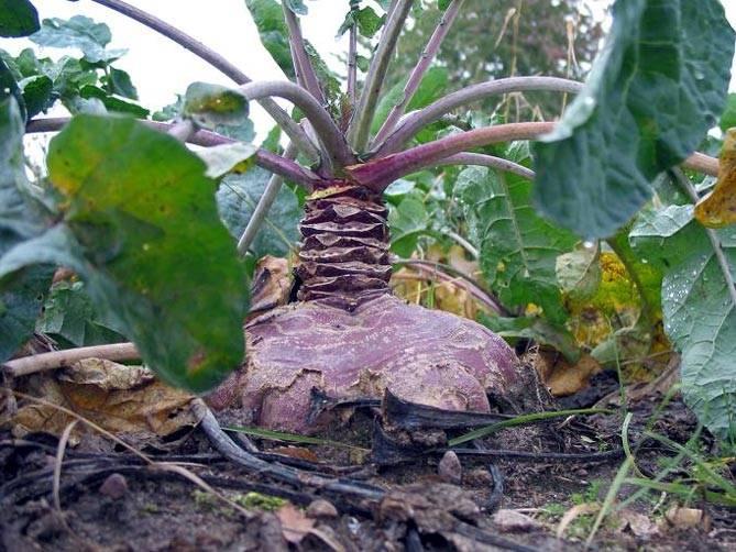 Брюква: выращивание из семян и уход за растением