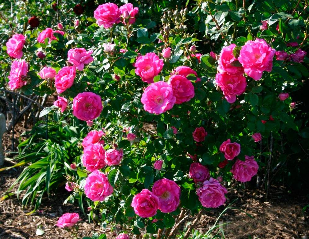 Цветы розы садовые: фото, названия и агротехника