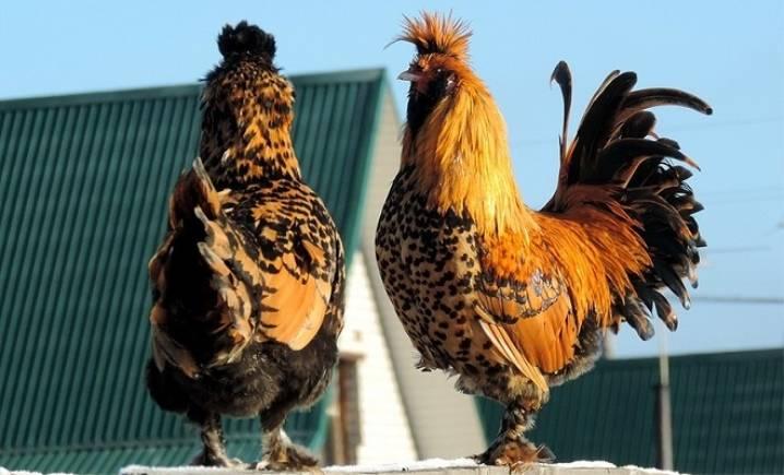 Содержание павловской породы кур