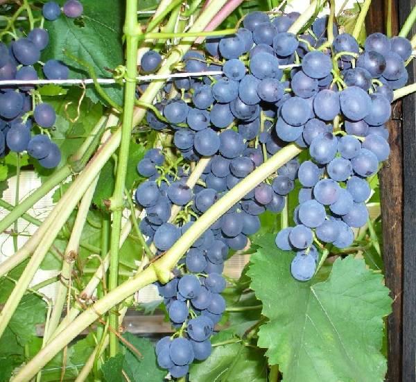 Виноград агат донской: описание сорта, фото и отзывы садоводов