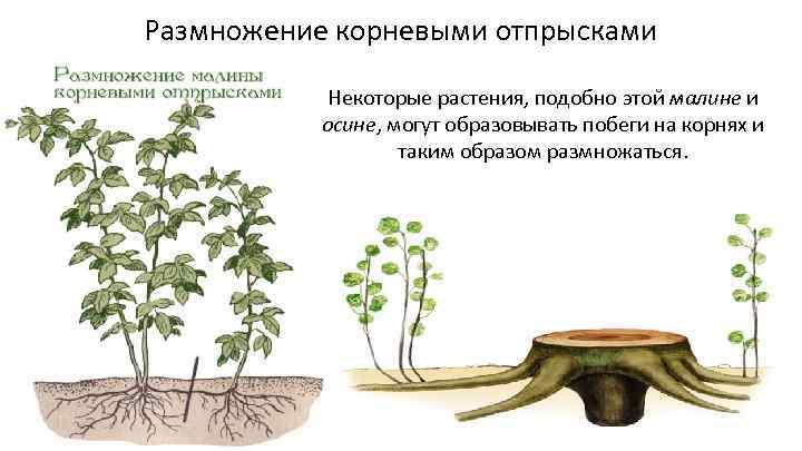 Размножение малины: способ самый простой и не очень