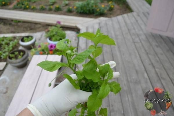 Звездчатка средняя (мокрица): лечебные свойства растения