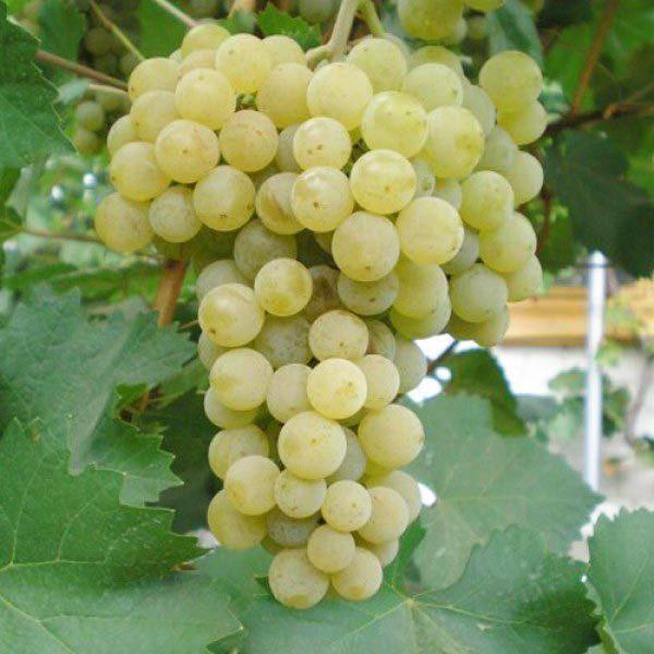 Виноград рубиновый юбилей: характеристика и описание сорта, посадка и уход