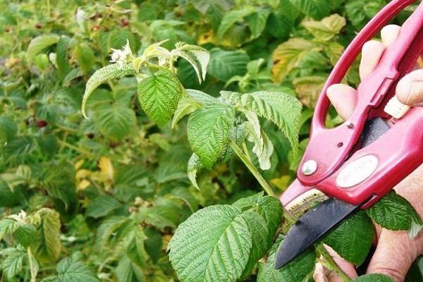 Почему малина не плодоносит, ягоды не растут и что делать с пустоцветом