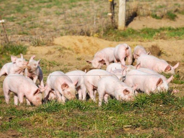Кормовые дрожжи для свиней: виды, как правильно давать в домашних условиях