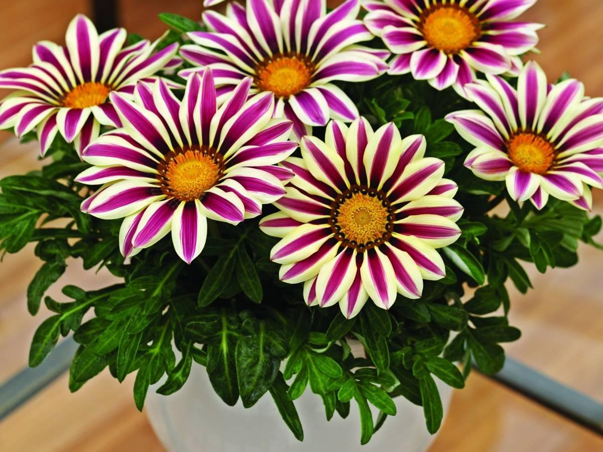 Гацания в домашних условиях: выращивание цветка в горшке