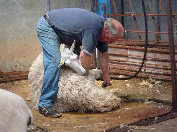 Как стригут овец. правила стрижки овец, использование ножниц и машинки