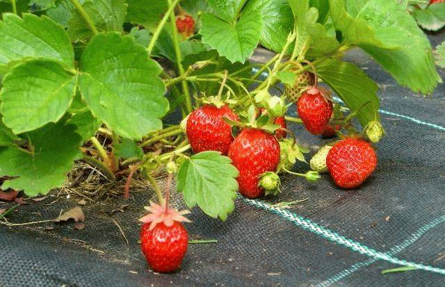 Клубника на пленке или агроволокне: как укрывной материал помогает получить хороший урожай