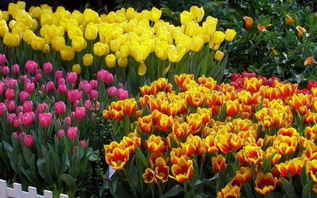 Когда осенью сажать тюльпаны