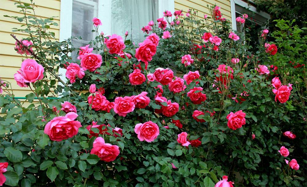 Плетистые розы: описание сортов, обрезка и подвязка