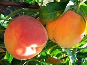 Сорта персика для донбасса