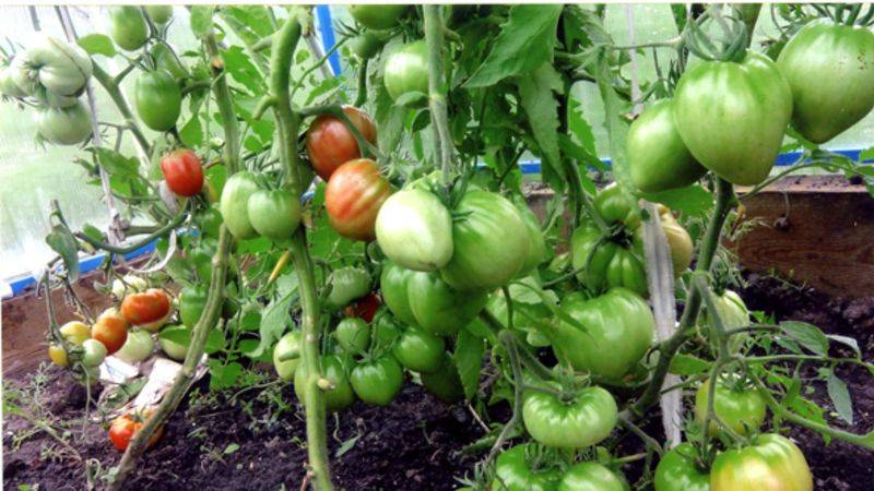 Крупноплодный высокоурожайный любительский сорт томата «король лондон»: описание, характеристики, рекомендации по уходу