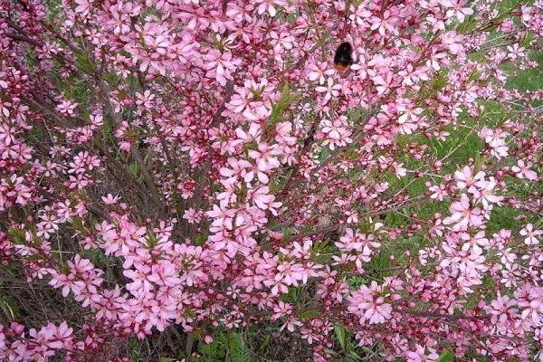 Миндаль розовая пена – посадка и уход за декоративными кустарниками
