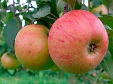 Хорошо известный и любимый многими сорт яблонь уэлси