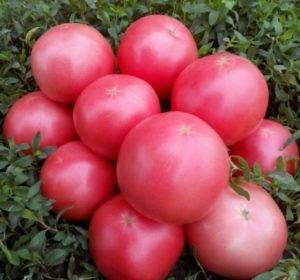 Томат «золотая теща»: описание гибридного сорта f1, рекомендации по выращиванию, характеристики плодов-помидоров