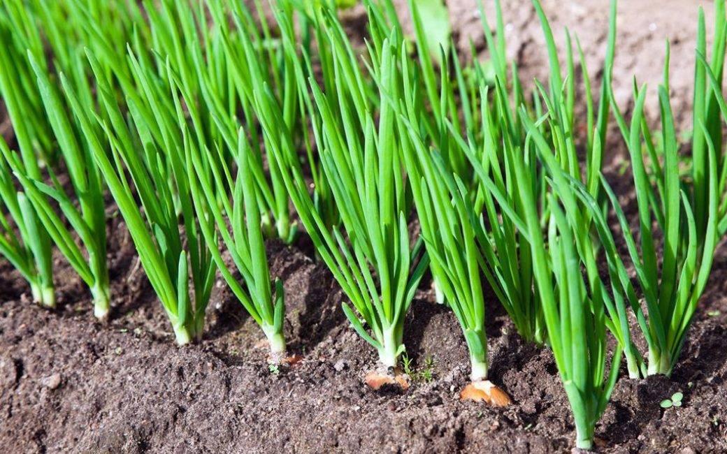 Выращивание лука шнитт из семян на дачном участке
