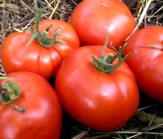 Надежный, хорошо зарекомендовавший себя экстраранний сорт томата «щелковский ранний»