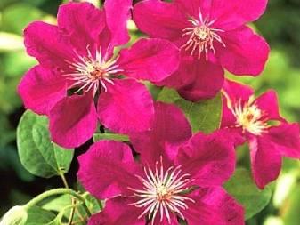 Клематис: посадка в открытый грунт и уход, выращивание в саду