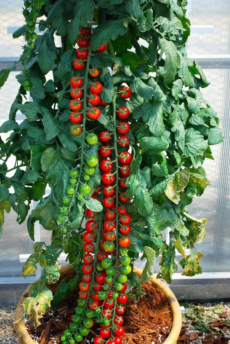 Гибридный томат «рапунцель»: описание сорта, посадка и уход