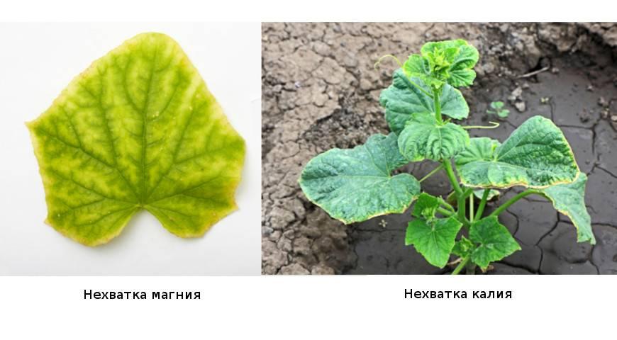 Признаки хлороза огурцов и способы борьбы с заболеванием