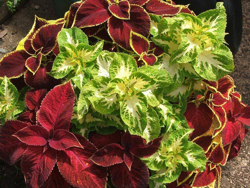 Колеус в открытом грунте – все о посадке, выращивании и зимнем уходе
