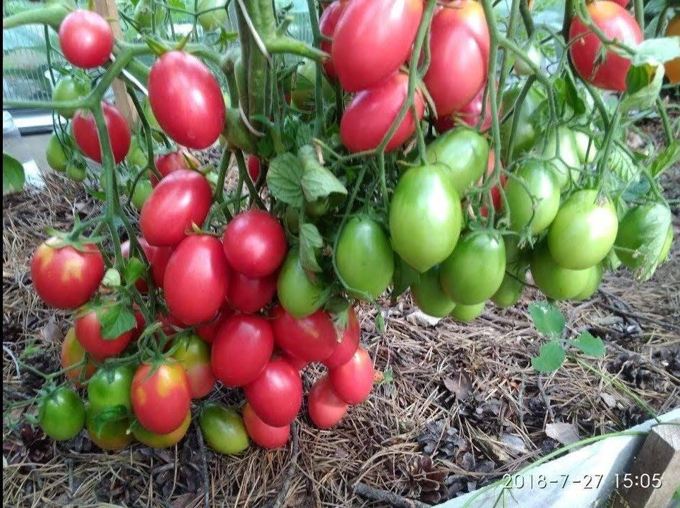 Замечательный новый сорт томата «абаканский розовый» — где и как выращивать, описание характеристик, фото помидор
