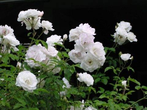 Энциклопедия плетистых роз: лучшие виды и сорта