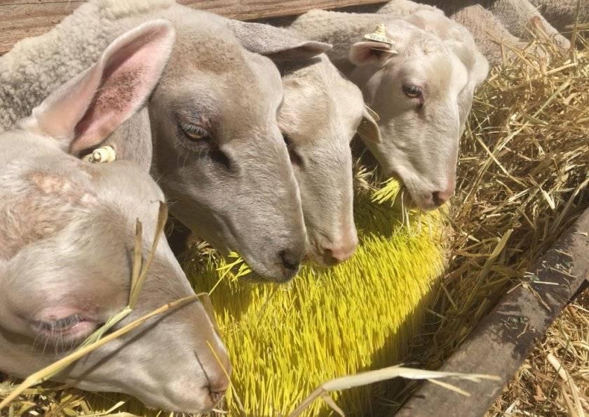 Как построить овчарню для овец своими руками