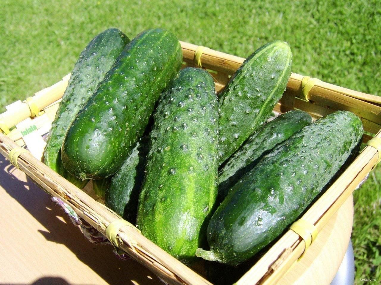 Огурцы паратунка f1: описание сорта, особенности выращивания и ухода