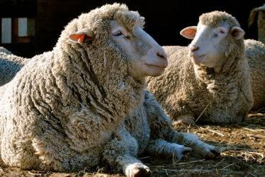 Описание и характеристика овец породы лакон, требования к их содержанию