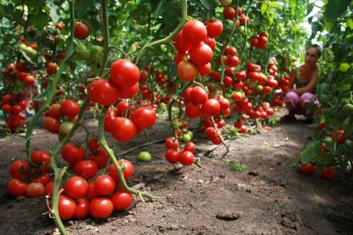 Характеристика сорта помидоров полбиг