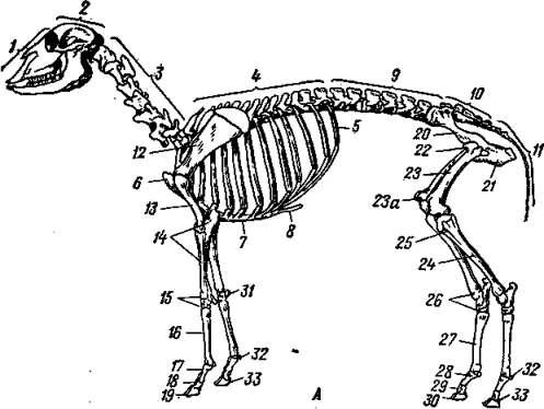 Анатомические и физиологические особенности баранов