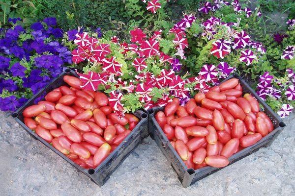 Томат сосулька розовая — описание, агротехника, отзывы