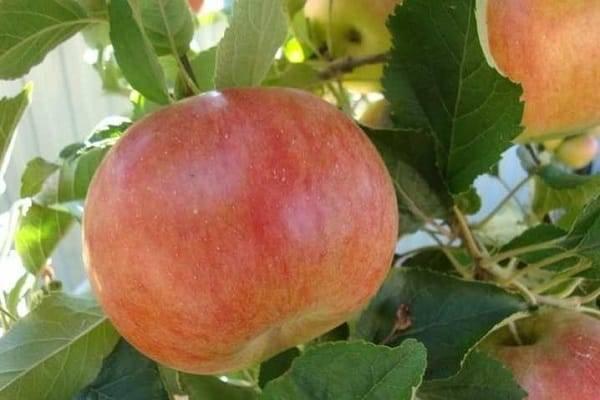 Подробное описание и основные характеристики сорта яблони Мартовское