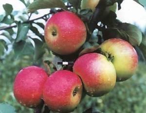 Вам нужны яблоки, идеальные для приготовления сока? посадите сорт «памяти ульянищева»