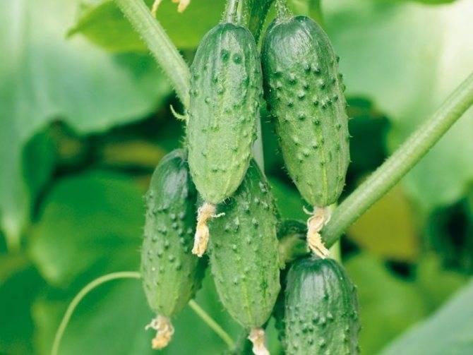 Огурцы серпантин f1: устойчивость к болезням и правила агротехники