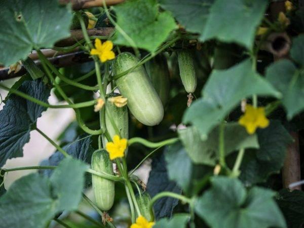 Как вырастить хороший урожай огурцов в открытом грунте и теплице