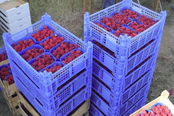 Когда созревает малина в средней полосе россии: сорта и сроки