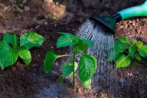 Как поливать перец и баклажан – составляем расписание