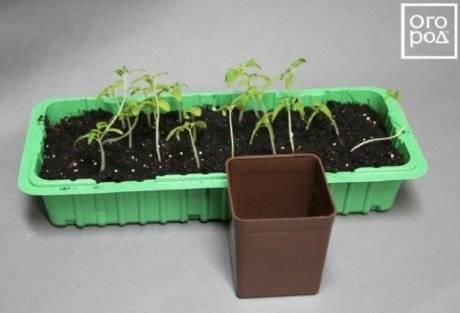 Выращивание рассады помидоров без пикировки