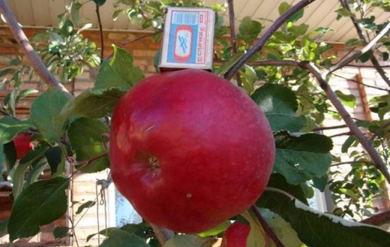 Описание и характеристики яблони сорта апорт, особенности посадки и ухода