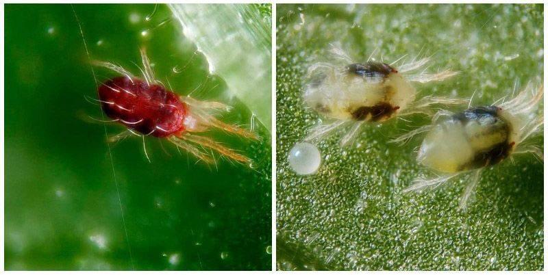 Как избавиться от паутинного клеща на смородине