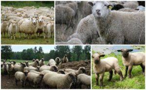 Ставропольский казак дает онлайн-уроки пострижке овец