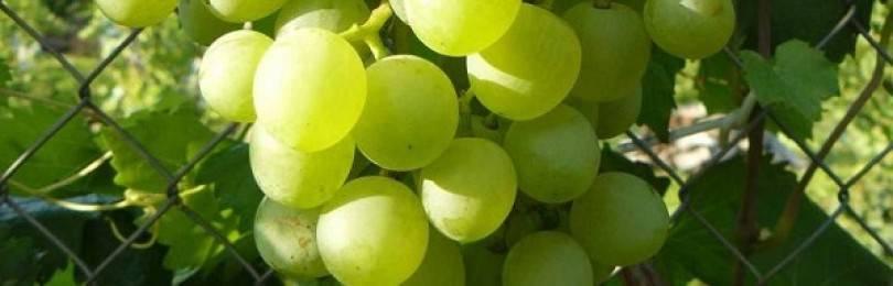 Описание винограда сорта «сенатор»: характеристики, фото, отзывы садоводов