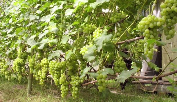 Описание винограда гарольд