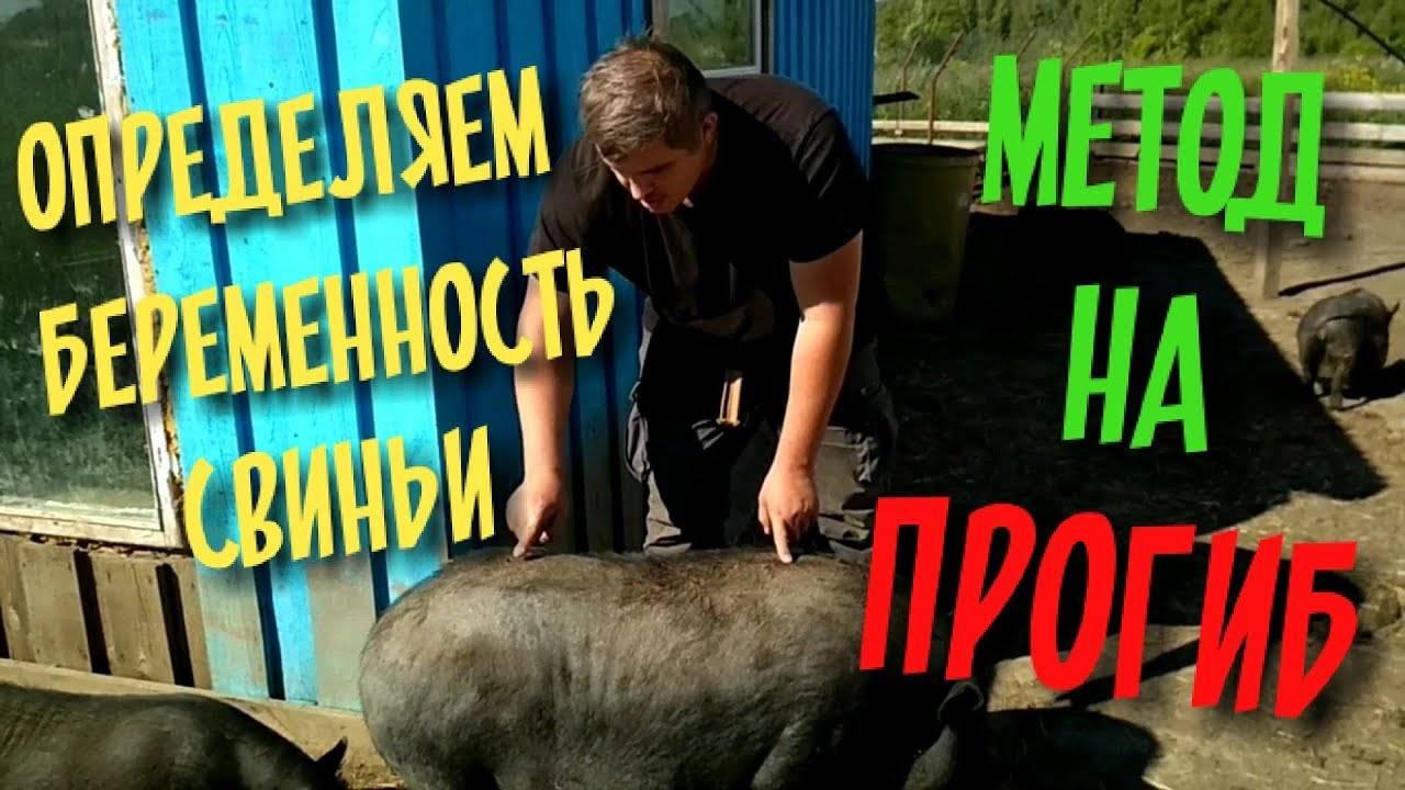 Спаривание свиней: как узнать, что загуляла, сколько дней и в каком возрасте