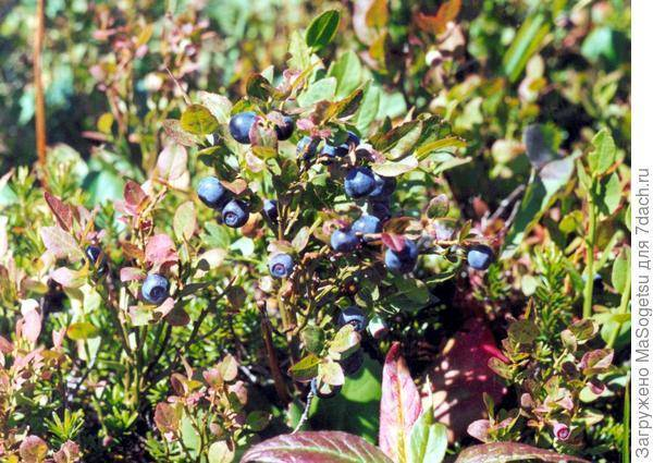 Как вырастить и размножить чернику – какие условия соблюдать, чтобы получить урожай