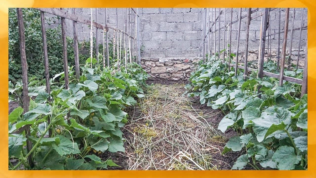 Схема формирования и выращивания огурцов на шпалере в открытом грунте