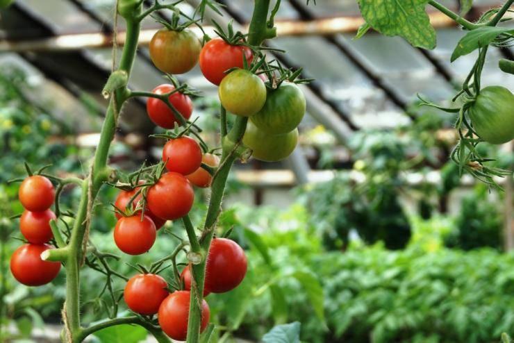 Томат малиновый ожаровский: описание сорта, урожайность и уход с фото