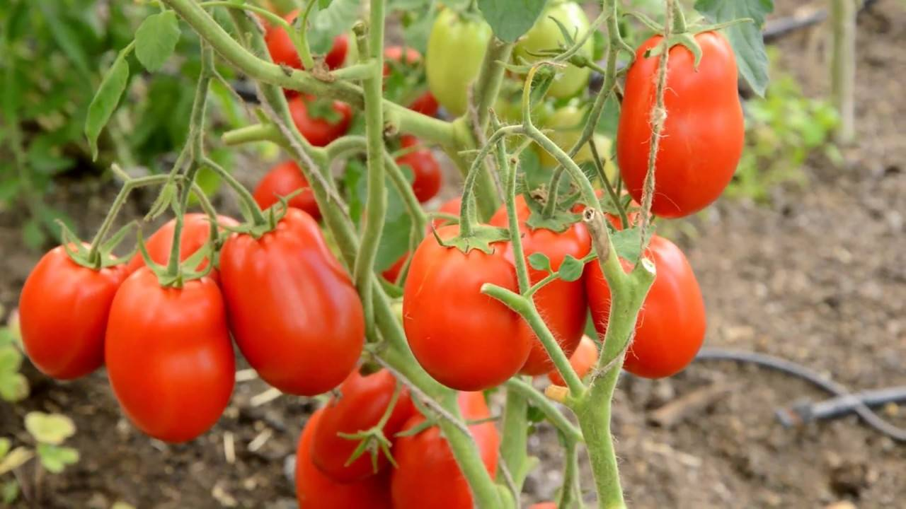 Томат москвич — описание сорта, урожайность, фото и отзывы садоводов